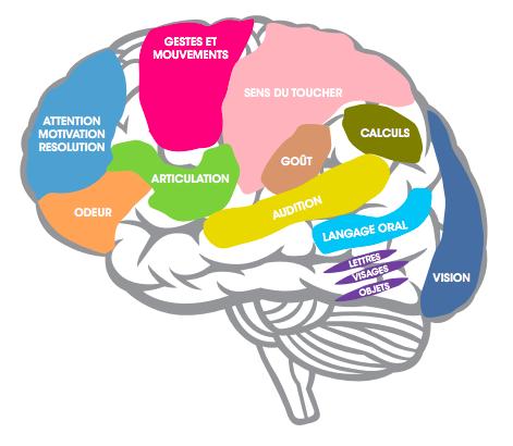 Les troubles Dys ont pour origine des zones déficitaires ou moins actives dans le cerveau — extrait du guide de l'Apajh.